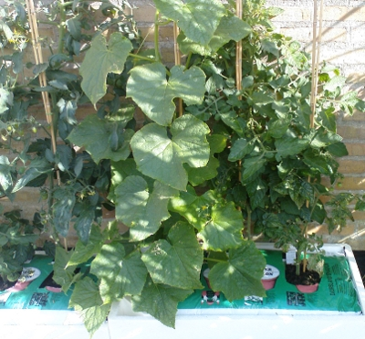 One cucumber plant and two tomato plants growing in one self-watering polystyrene box