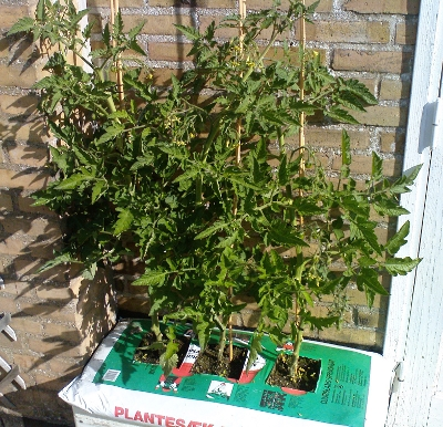Three tomato plants without fruits, growing in a self-watering polystyrene box