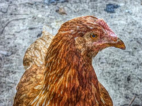 ISA Brown hen